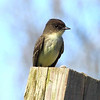 Eastern Phoebe. In the flycatcher family. Can be seen perching at a usual spot and flying out to grab a flying insect and return to the same spot again. Very tame at the nesting sites.