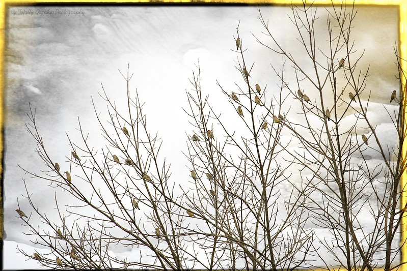 Waxwing Party
