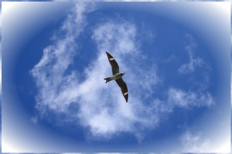 Nighthawk on the Prowl