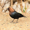 Brown Headed Cowbird. These birds are parasites in that they will knock eggs out of other bird nests and replace them with their eggs. This leaves the adults of the nest to bring up the young of the Cowbird!