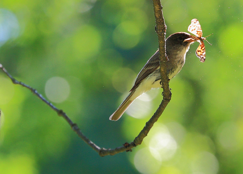 Eastern Phoebe with a butterfly