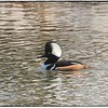 """When you're having a great hair day and don't need a comb<br /> """"Fonzi Style""""<br /> The """"Hoodlem"""",...um..err..The """"Hooded Merganser"""