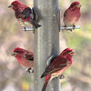 Purple Finch...best viewed @ XL
