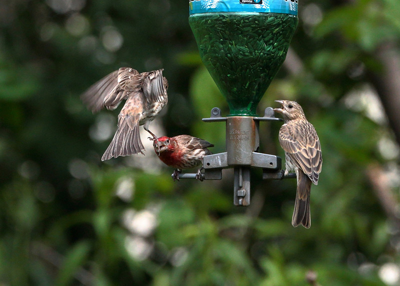 House Finch fighting for position.