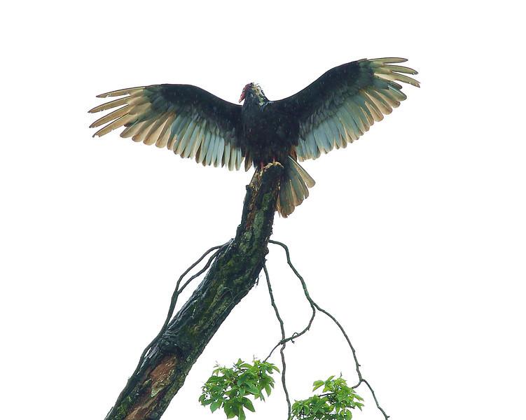 Male Turkey Vulture
