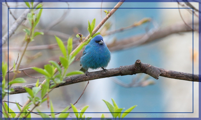 Indigo Bunting. Captured on May 3rd 2016 Ulster Park, NY.