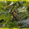 Black-throated green warbler (male)