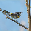 One of the first visitors to show up in the spring in the Hudson Valley of NY. The Yellow-rumped Warbler!