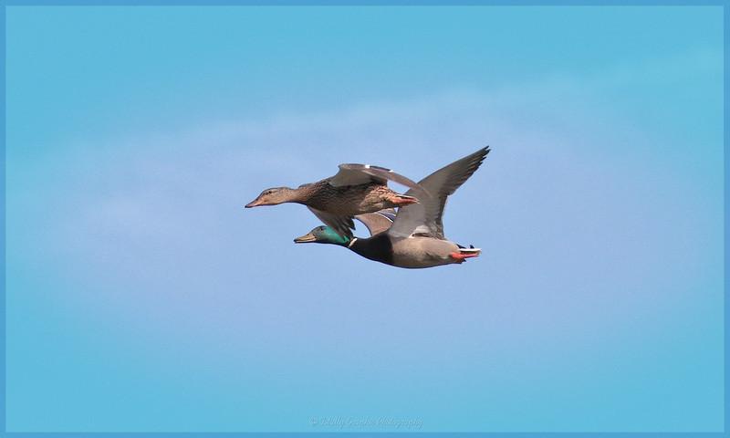 Mallard Ducks Fly-By