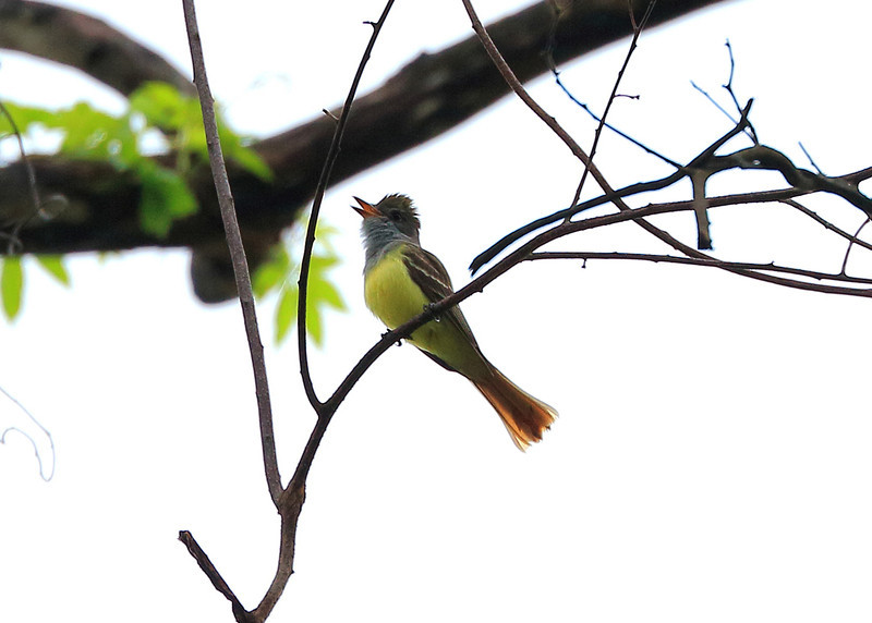 Great Crested Flycatcher...best view XL.