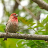 Male House Finch.