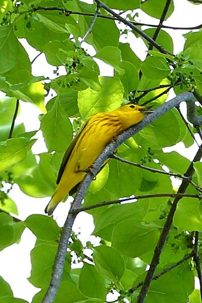 A very love sick Yellow Warbler
