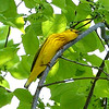 A very love sick Yellow Warbler