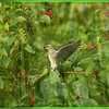 Cedar Waxwings and Hogweeds