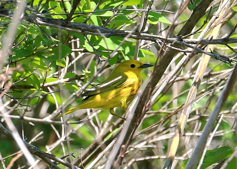 Yellow Warbler (adult male)