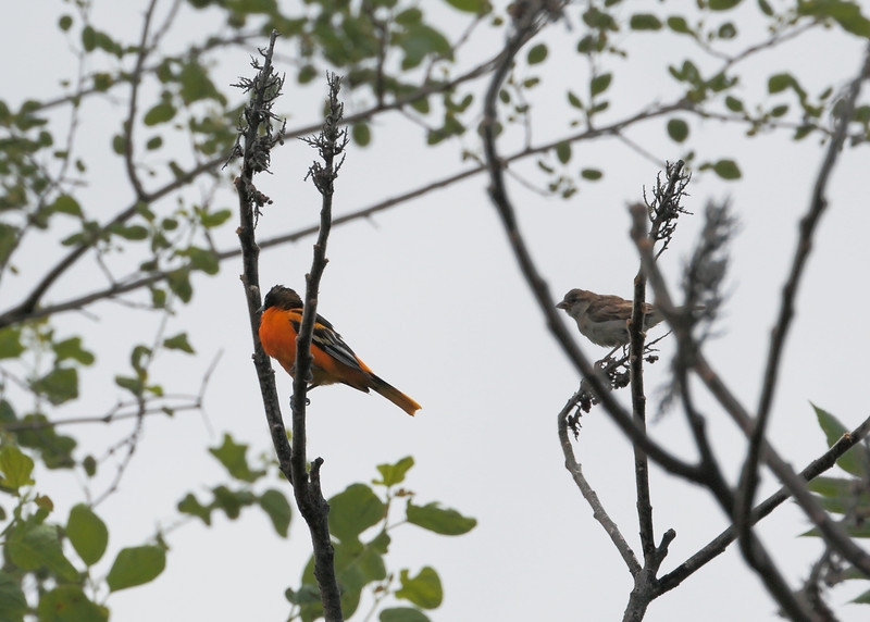 Baltimore Oriole with a female House Sparrow in the background.
