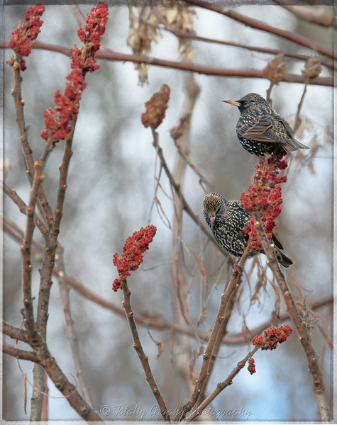 Starlings in winter plumage