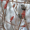 Starlings in winter plumage