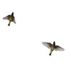 Cedar Waxwing Fly By!!!