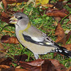 Evening Grosbeak...female