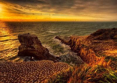 Golden Evening At the Gannet Colony