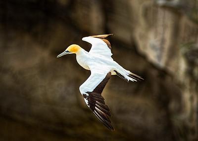 Gannet Cruising...