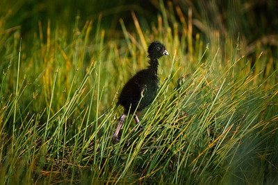 Pukeko chick, ready to face the world