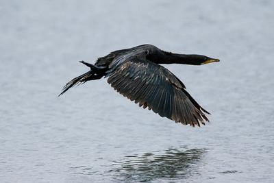 Black Shag in Flight