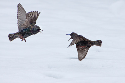 Starlings fighting