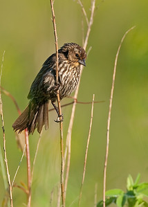 FemaleRed-winged blackbird