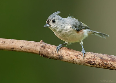 Tufted titmouse looking deshelved