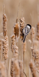 Chickadee on Cattail