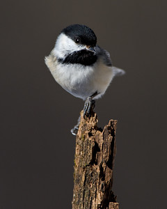 Chickadee perched