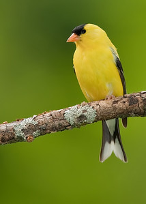 Goldfinch on Lichen-laden perch