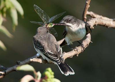 Kingbird tug-o-war