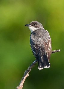 Kingbird perched