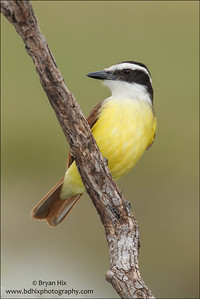 Greater Kiskadee Laguna Seca Ranch, TX