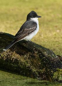 Kingbird on log