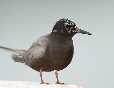 Black tern male