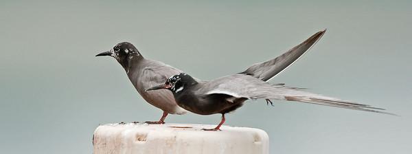 Black tern pair