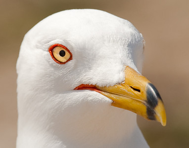 Ring-Billed Gull portrait in breeding plummage