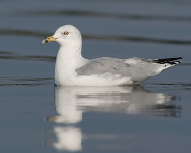 Ringed-bill gull