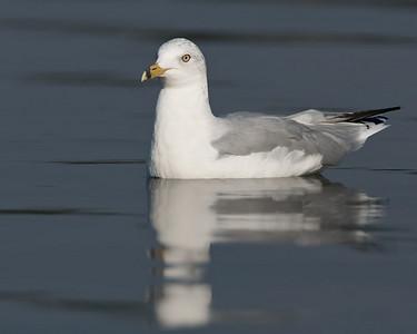 Ringed-bill gull on water
