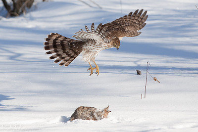 Cooper's Hawk swooping at Rabbit