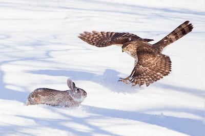 The Attack-Cooper's Hawk vs Rabbit
