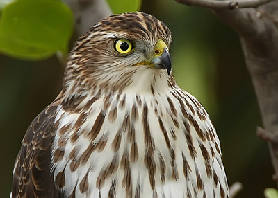 Immature Cooper's Hawk portrait