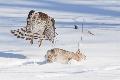 Cooper's Hawk and Rabbit