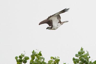Osprey diving on bald eagle (not seen in frame)