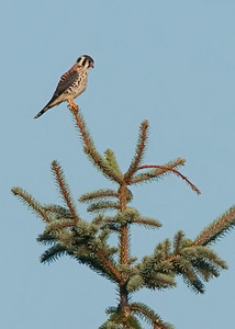American Kestrel perched on large Spruce