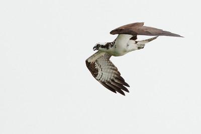 Osprey diving on Bald Eagle